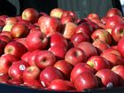 Nobody knows how many varieties of apples exist in the world today, except that the number runs into the thousands.