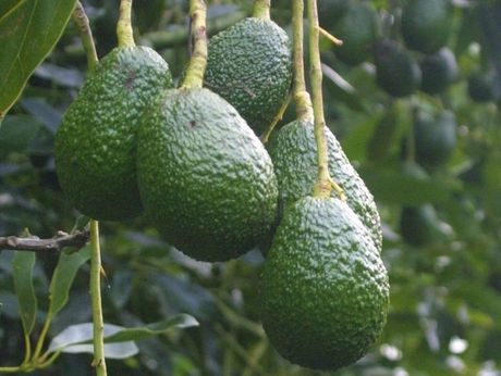 Northland avocado growers accounted for 60 per cent of the industry's overseas exports - double last year's quantity.