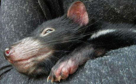 A Tasmanian Devils Joey encounter at Australia Zoo.