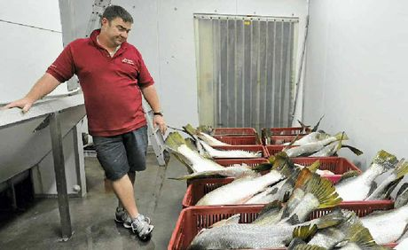 Simon Whittingham at Gladstone Fish Market with a 600kg catch of diseased fish that he had to reject.