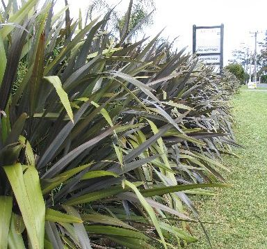 Phormium cookianum has an attractive, weeping habit. Photo / Supplied
