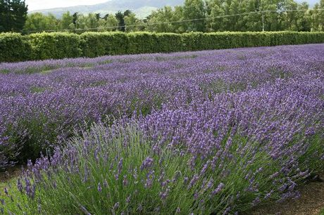 Lavender. Photo / APN