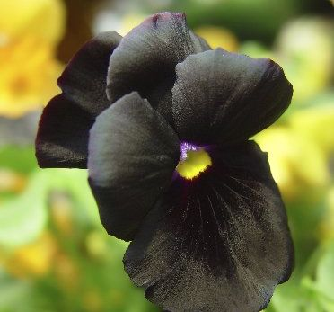 Black pansies are equally happy in full sun or semi-shade. Photo / Supplied