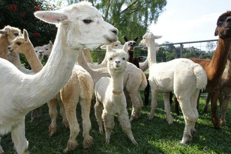 Two alpacas were brutally bashed at Caboolture State High School on Saturday morning. Police are still hunting for the offenders.