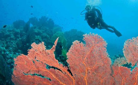 EPIC: A diver admires the large sea fans at Uepi Point off Uepi Island in Marovo Lagoon, Solomon Islands.