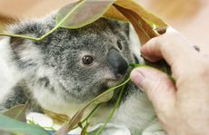 NURSED TO HEALTH: Six-month-old Vina, whose mother was killed by a car, is being cared for at the Moggill Koala Hospital.