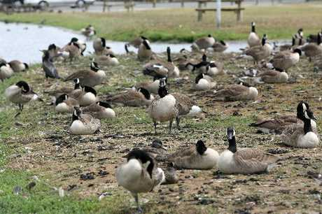 It is hoped that co-ordinated efforts will result in an effective cull of Canada geese in the South Island High Country this summer.