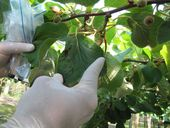 A plan to help fight the kiwifruit vine killing disease Psa-V is one step closer. The results of the National Psa-V Pest Management Plan (NPMP) have been announced.