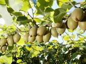 Katikati kiwifruit orchardists have plans in place to slow down the spread of the disease Psa in the area.