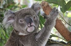 Ashley, 7, is having his third visit to the Koala Care Centre but is just about ready for release.