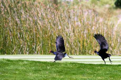 Pukeko hunting season kicks off next weekend.