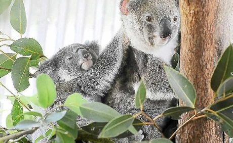 The Sunshine Coast koala population is under threat from wild dogs and foxes.