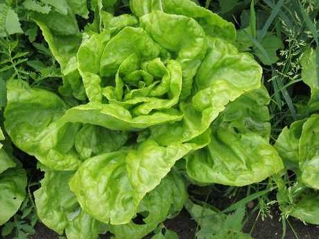 Mesclun salad includes a variety of lettuces. 