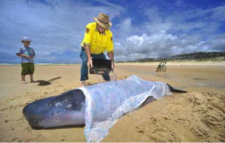 NPWS ranger Dave McFarlane pours water on the whale beached on Back Beach, Brooms Head as Sam Girdler, 6, of Brisbane watches.