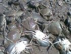Rockhampton fishermen were shocked to find more than 20 tied mud crabs dead beside the Port Alma boat ramp.