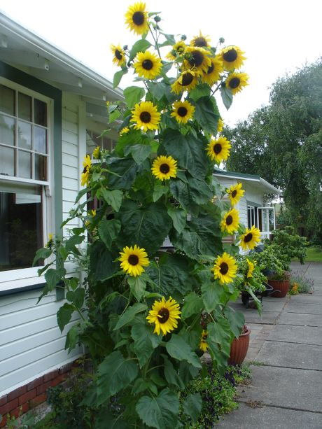 Sunny sunflowers tell you summer is on the way. 