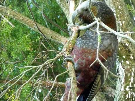 HAVEN: Birds such as kaka are being lured back.PHOTO/FILE