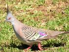 Crested pigeons can be made welcome in your backyard with native plants.