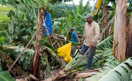 Banana farmer Rupinder Bhangal and son Burinder inspect the damage the severe thunderstorm did to the farm's crop.