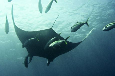 MAJESTIC: A graceful manta ray at the Poor Knights Islands makes the metre-long Kingfish look very small. PHOTO/GINES PASTOR