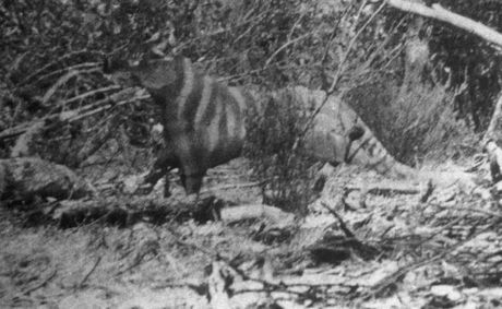 Tasmanian Tiger Sightings 2012 Images & Pictures - Becuo