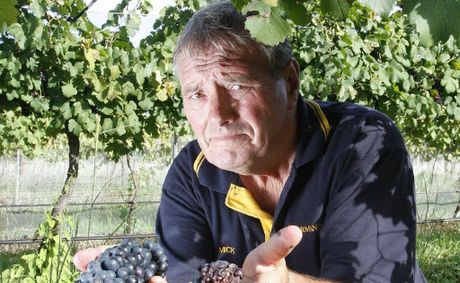 Harrisville's Normanby Wines owner Mick Hall with some of the grapes damaged by wet weather.