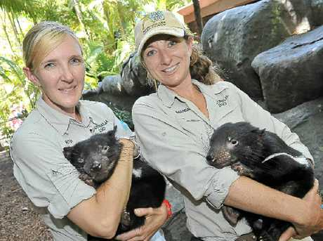 DEVILS ON THE DETAIL: Australia Zoos Beth Gibson and Amanda Brown with two of the offspring of Presley, Brian and Troy.