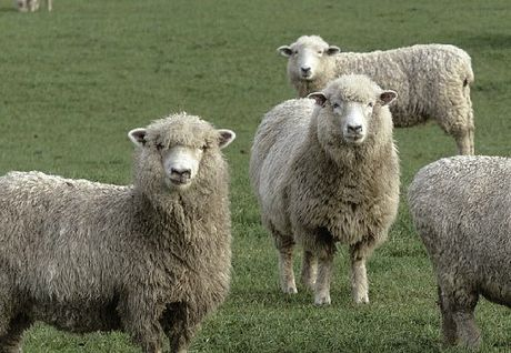 Waipukurau police are warning people to be vigilant after reports of sheep and lamb thefts.