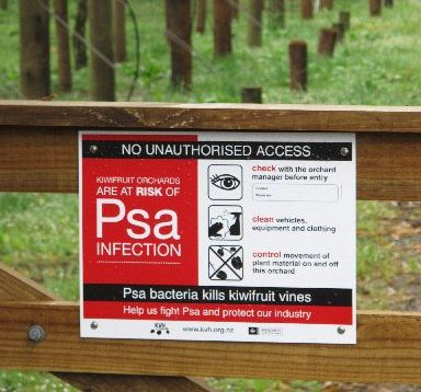 Psa has been identified at 66 kiwifruit orchards in the Western Bay of Plenty.