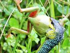 Eirinn Noy snapped these photos of a snake devouring a green tree frog on her parents property at Peachester.