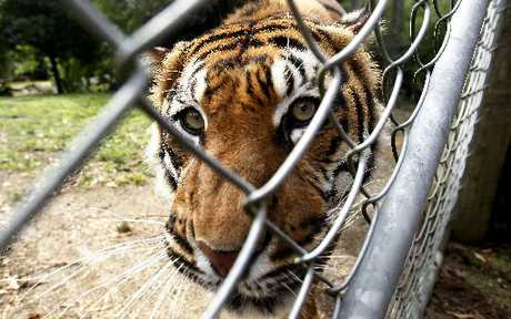 Jaka the 12-year-old Sumatran tiger at Hamilton Zoo.