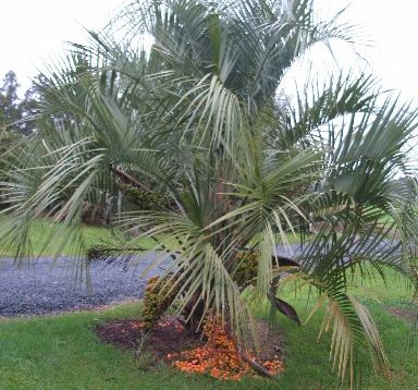 UP A TREE: You may want to get a few mates, preferably one with a digger, to help when you relocate a palm tree.