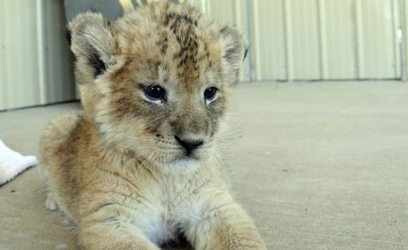 One of the four lion cubs, Malika, born at the Darling Downs Zoo last year is settling into her new home in Tasmania.