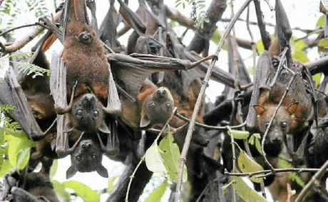 Flying fox colonies have been known to relocate overnight.
