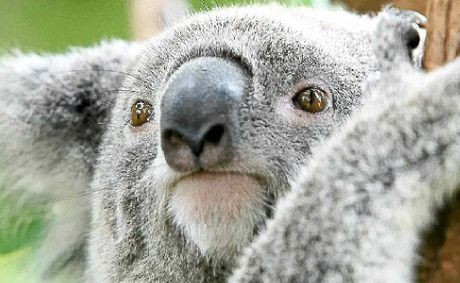 A 2011 environmental study estimated a population of only 144 koalas remained on the Tweed coast.