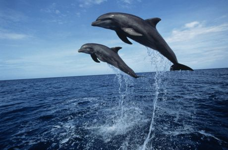 Bottlenose dolphins (Tursiops truncatus) jumping.