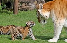 Dreamworld&#39;s six-week-old tiger cubs meet their new &quot;aunt&quot; Sita, a 12-year-old female tiger.