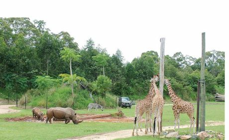 EXOTIC RESIDENTS: Rhinos, giraffes and zebras have made their home in the new African exhibit at Australia Zoo.