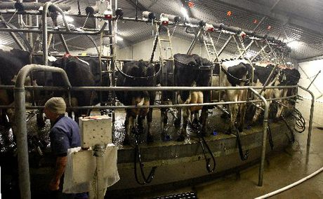 MILKING IT: New Zealand's dairy returns were worth $11.6 billion for the 2010-11 production season.