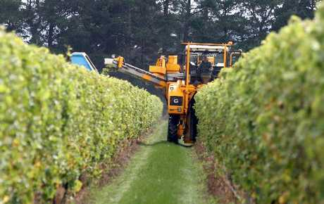 FIRST PICK: Harvesting at Matahiwi Estate in Wairarapa.