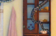 The three-metre python Elise Barry found slithering around her bathroom.