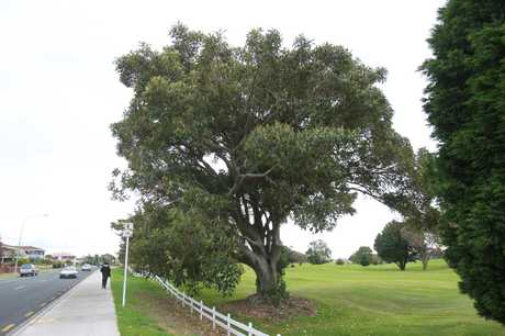 The Moreton Bay fig tree growing near the Omanu Golf Club's 10th green.