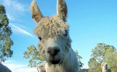 Come and meet this little guy when the region's Alpaca farms open their gates to the public for National Alpaca Week.