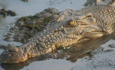 Wildlife rangers set a trap to capture the saltwater crocodile sighted near Beaver Rock on the Mary River.