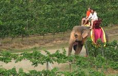 Elephant ride through the vineyard. 