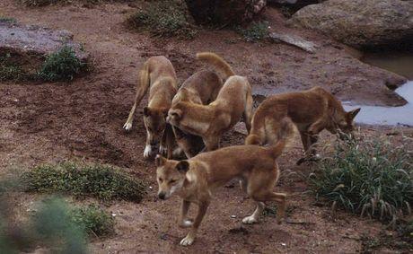 Dingo Mating