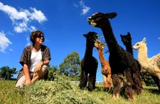 Jan Chant will open up her alpaca farm, near Murwillumbah, to the public.