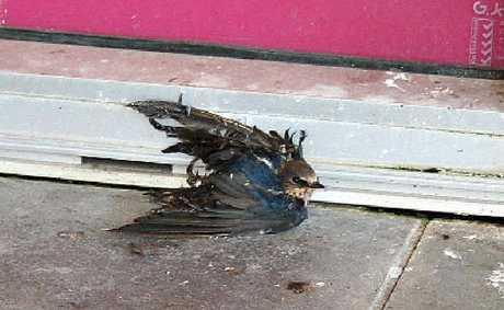 The substance used at Walkerston Shopping Village proved to be fatal to native welcome swallows.