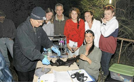 Assisting with the project are (from left) SOS carer Imelda Jennings, Maclean High School teacher Wayne Rice and students Annaleise Rosnell, Lowana Littlechild, Kalyx Jorgenson and Rhiannon Pye with researcher Billie Roberts, of Harwood. The flying fox is under sedation and is being measured, weighed, collared with a tracking device and released.