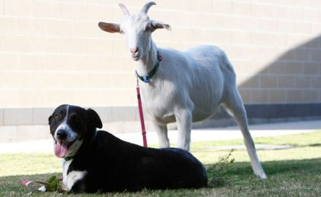 RSPCA Wacol residents Mizzy (dog) and Bullseye (goat) can&#39;t live without each other and are looking for a home together.